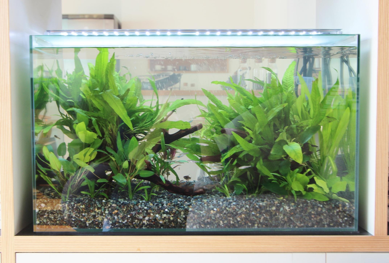ドラマ撮影 60cm淡水魚水槽 アップ画像